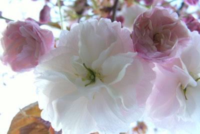 ミッキー桜