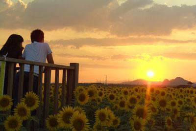 笠岡のひまわり2007