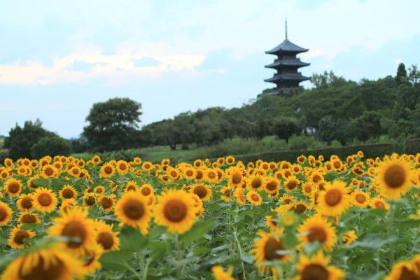 備中国分寺ひまわり,岡山観光