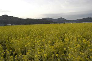 綾部梅林の菜の花畑