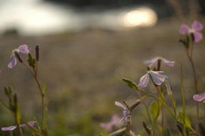 浜大根の花