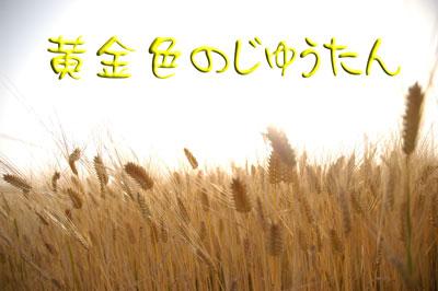 大麦収穫時期