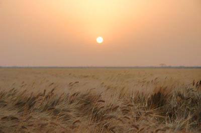 麦と夕焼け