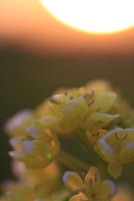 夕日に染まる備中国分寺の菜の花