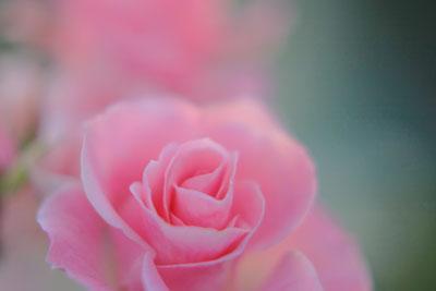 マクロで薔薇