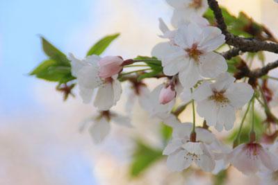 早島公園の桜