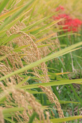 棚田で作られるはさがけもち米の契約農家