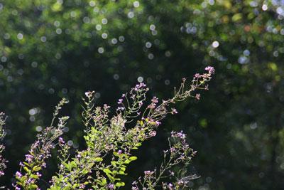 野草とアサギマダラ